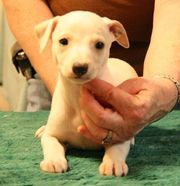 whippet breeders usa image search results