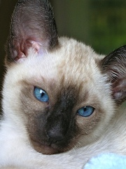 Pedigreed Siamese Kittens for Sale