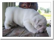 English bull dogs,  a nice addition in your home as a friend.