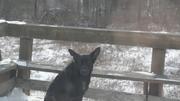 free german shepard black