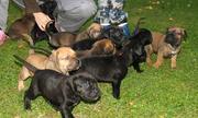 ukc male and female presa canario puppies