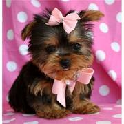 Cute Yorkie Puppies Text us at (760) 890-7537