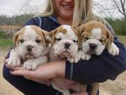 Cute and Adorable English Bulldog Puppies For Adoption or text (508) 3
