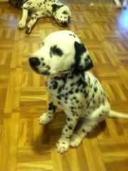 Dalmatian Male Puppy