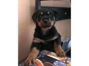 GERMAN ROTTWEILER PUP TO A GOOD HOME ONLY