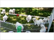 hotest maltese puppies for adoption