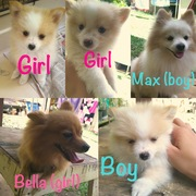 Adorable Pomeranian Puppies for Sale in Honolulu