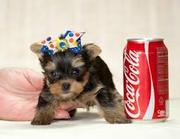Intelligent,  Yorkie Puppies For Free Adoption