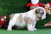 Contact AKC English Bulldog puppies for you