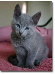 cute Russian Blue