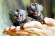 hi Marmoset monkeys for adoption now available