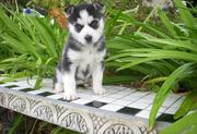 commendable  siberian husky puppies for valetine   (647) 738-8327