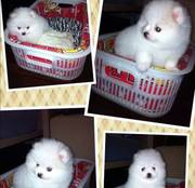 Tiny Toy Poms with GREAT personalities!!