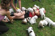 Playful  English Bulldog Puppies