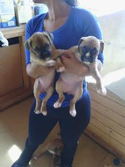 PURE BREED BOXER PUPPIES!