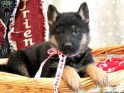 German Shepherd Puppies For Sale...