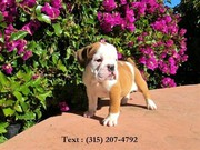 cheap english bulldog puppy for sale. call or sms 3152074792