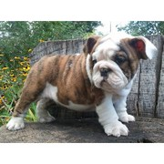Sweet Xmas English Bulldog Puppies Available.