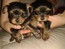 Healthy M/F Teacup Yorkie Puppies
