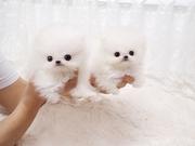 Crystal Tiny Pom puppies.