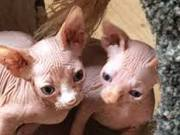 Beautiful Pair Sphynx kittens for adoption