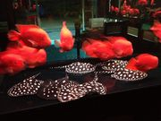 Show Quality Black Diamond Rays And Asian Arowanas King k Parrots Fish