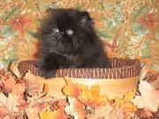 CFA Pedigree Persian and Siamese Kittens Available...