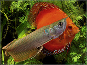 Top quality Grade AAA Arowana fishes from genuine breeders available o